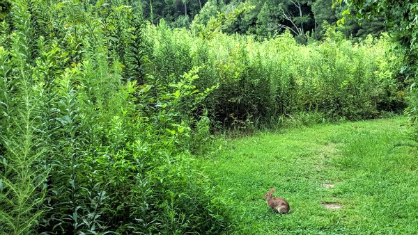 View of green grassy trail with little bunny in path