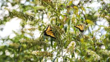 Two butterflies on flower bush
