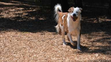 Happy dog running at dog park on mulch