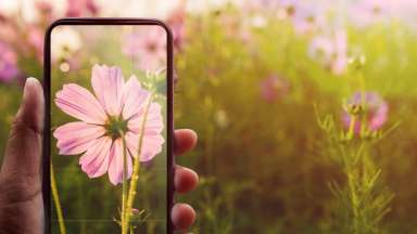 Smartphone on Hand Taking Photography of Blooming Cosmos flower