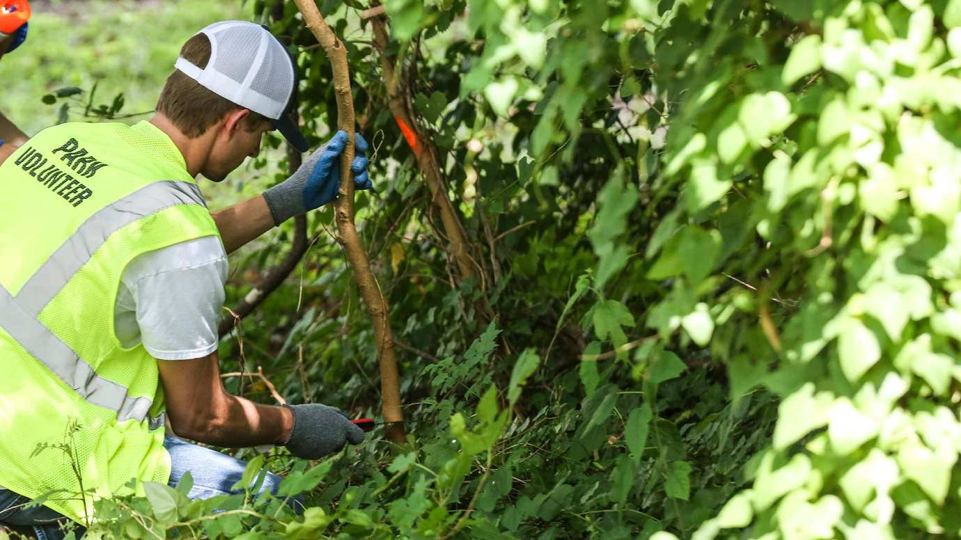 Volunteer removing invasive species